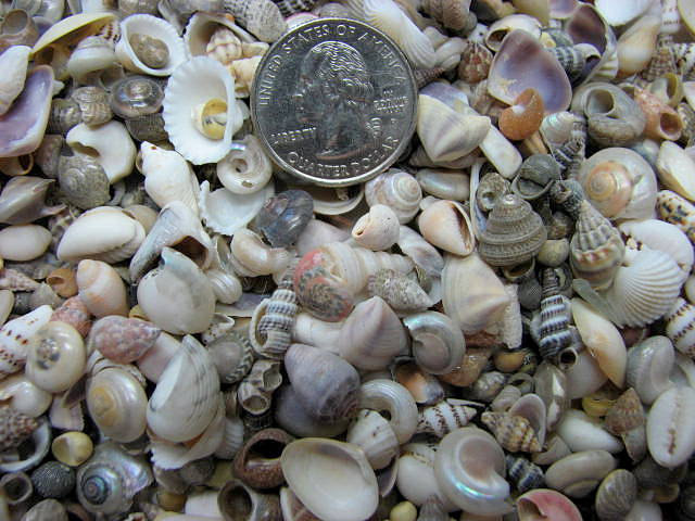 Seashell mix for beach decor tiny shell mix for nautical for Tiny shells for crafts