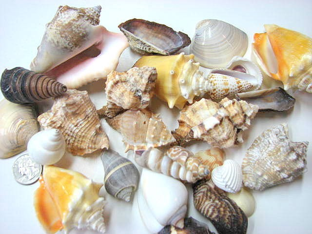 Shells for beach decor 24 assorted lg seashells for for Large seashells for crafts