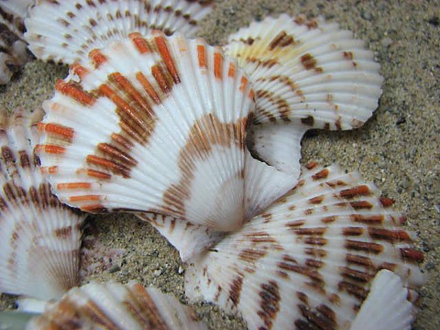 Beach decor seashells scallop shells for nautical decor - Scallop shells for crafts ...