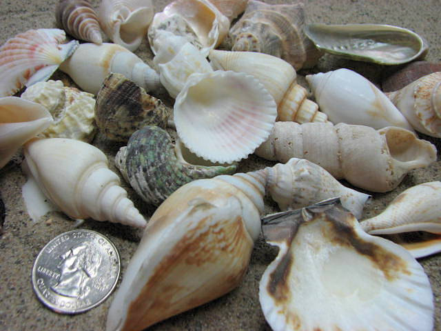 Seashell mix for beach decor large shell mix for jewelry for Large seashells for crafts
